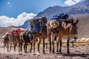 Mules on the way to base camp